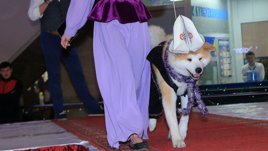 A dog at a show in Bishkek in December demonstrating improper use of a kalpak.