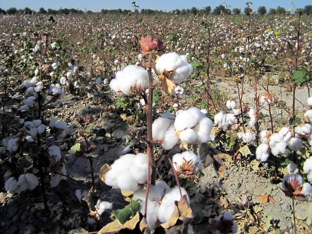Cotton fields in Samarkand, Uzbekistan