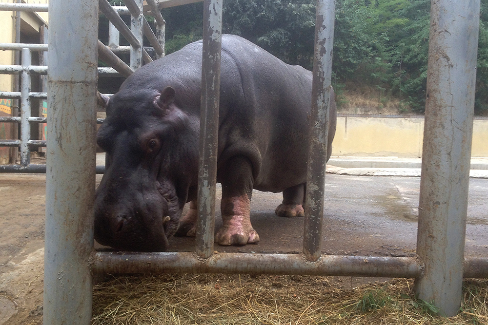 After a June flood destroyed her home, Beggi the hippo was moved to a temporary home in Tbilisi. (Photo: Paul Rimple)