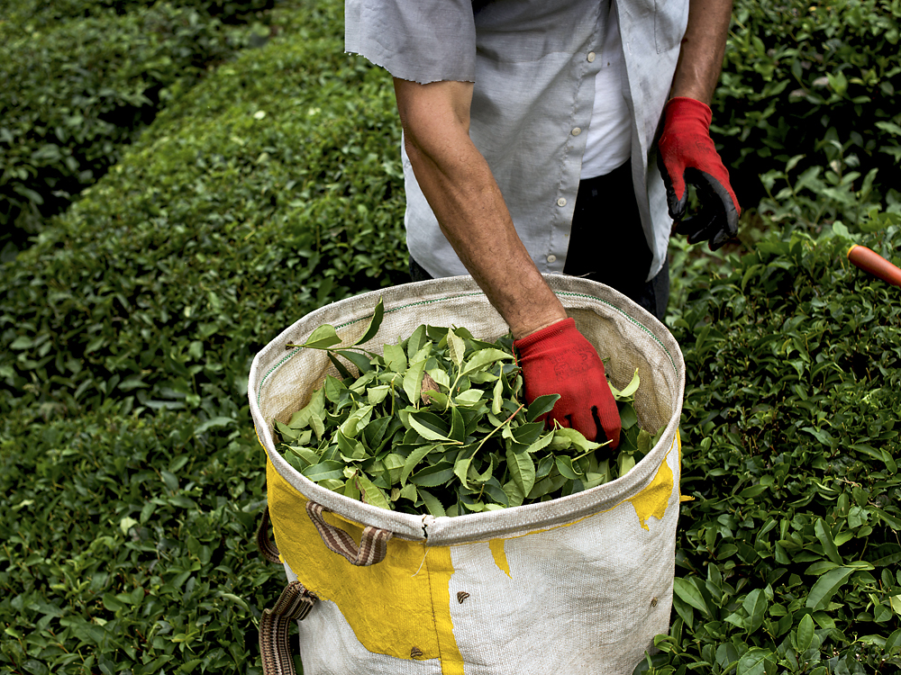 A worker checks the quality of the freshly picked leaves.