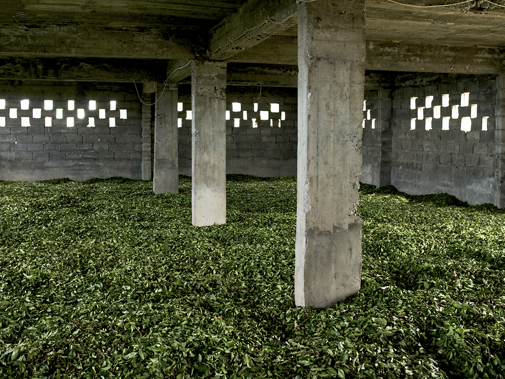 Green tea leaves begin to fill  a warehouse before being sold to one of the main companies in the region.