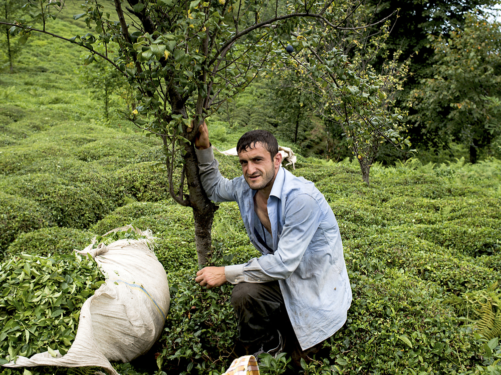 A Georgian tea farmer from Batumi works in a tea plantation of Rize for two months during each harvest season.