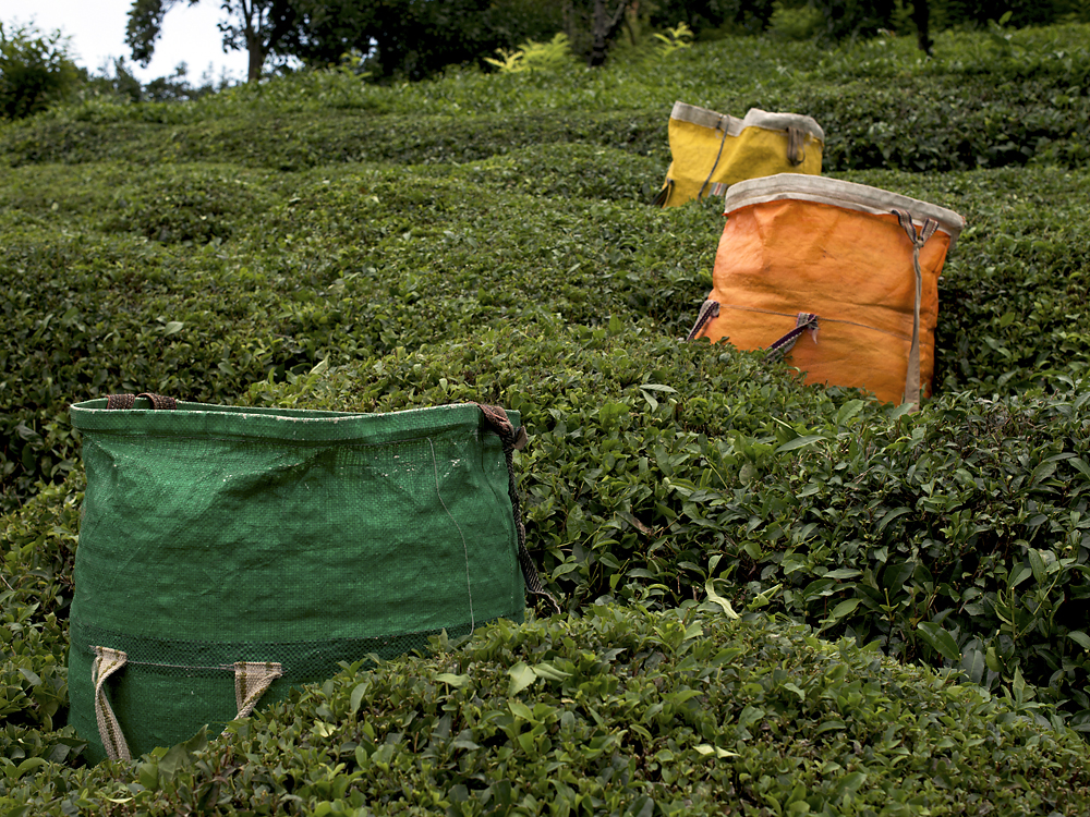 Full bags of fresh tea leaves wait to be gathered for delivery to a warehouse.