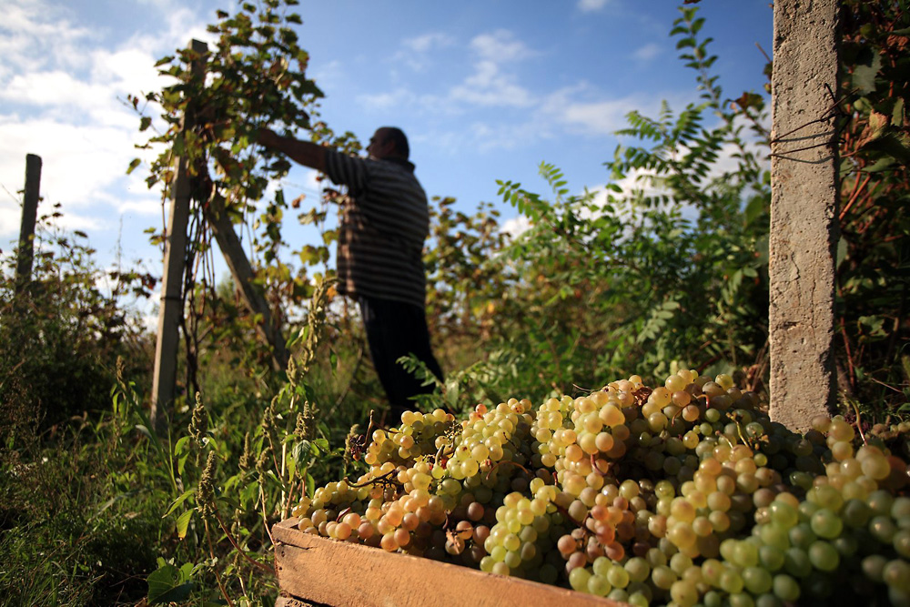 Grapes are handpicked during the fall harvest at a Georgian vineyard in Kakheti.