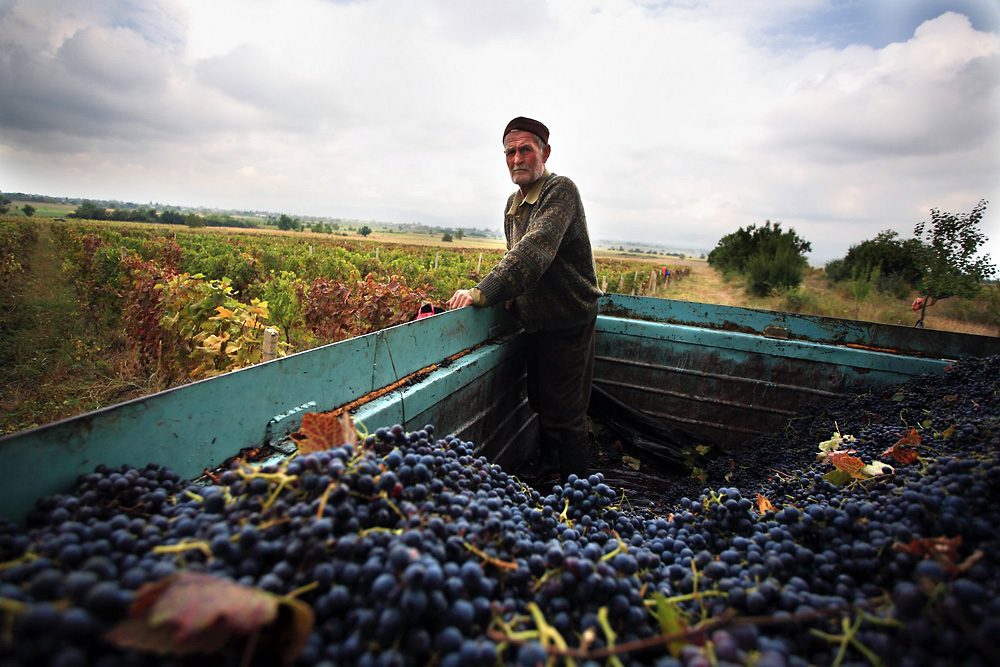 Moseh Bachiashvili, 72, from the Kakhetian village of Ikalto helps during the annual harvest.