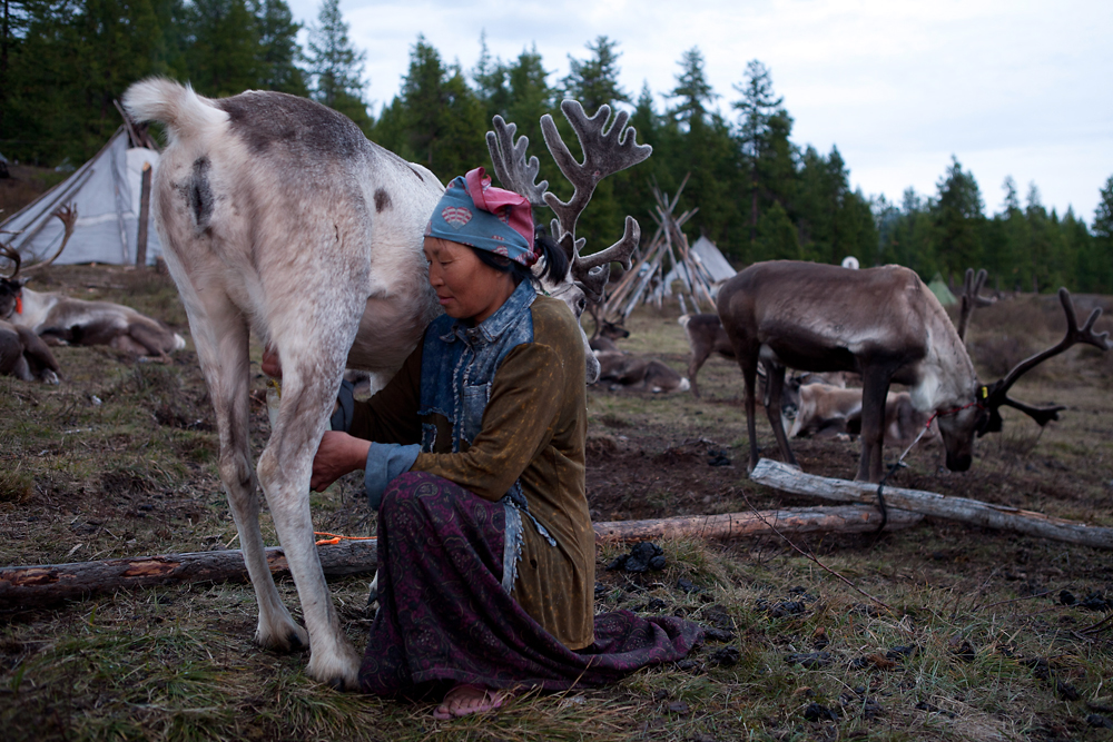 Byunaa milks a reindeer in the evening. A reindeer gives about 200 grams of the rich, fatty milk per day.