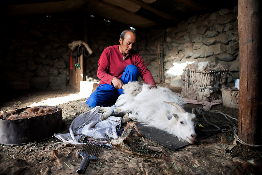 A herder combs out the last strands of cashmere from a relaxed goat in his animal shed in Mongolia. (Pearly Jacob)
