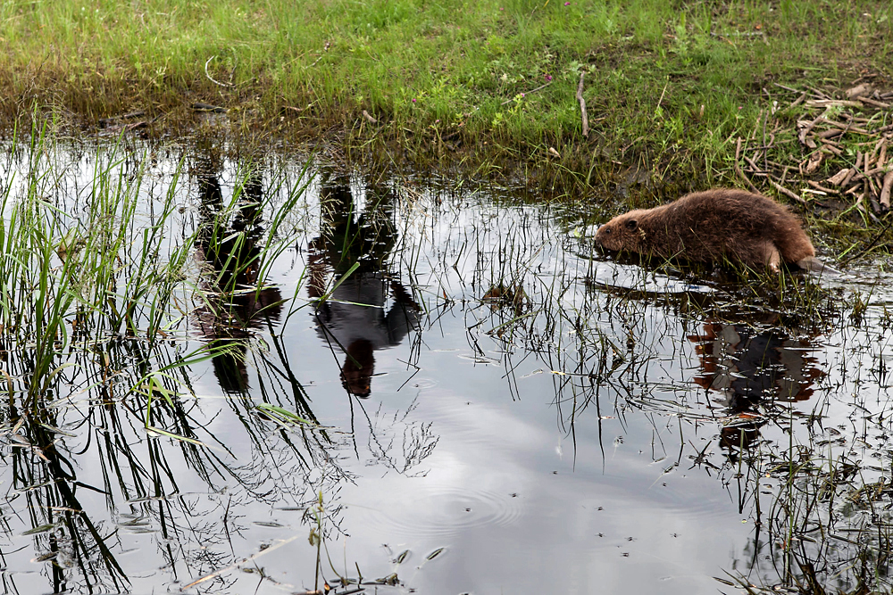 A Eurasian beaver from Russia enjoys temporary freedom in a small quarantine pool in Mongolia. (Pearly Jacob)