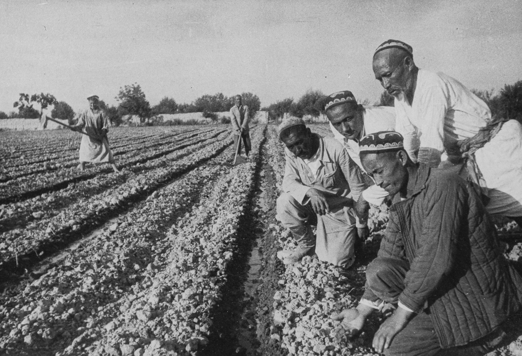 On the cotton plantations of Uzbekistan.