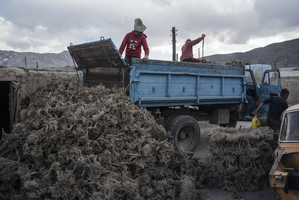 Workers unloading teresken shrubs in Murghab