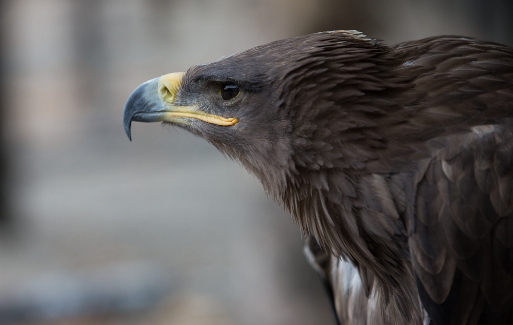 One of four golden eagles being released into the wild this fall