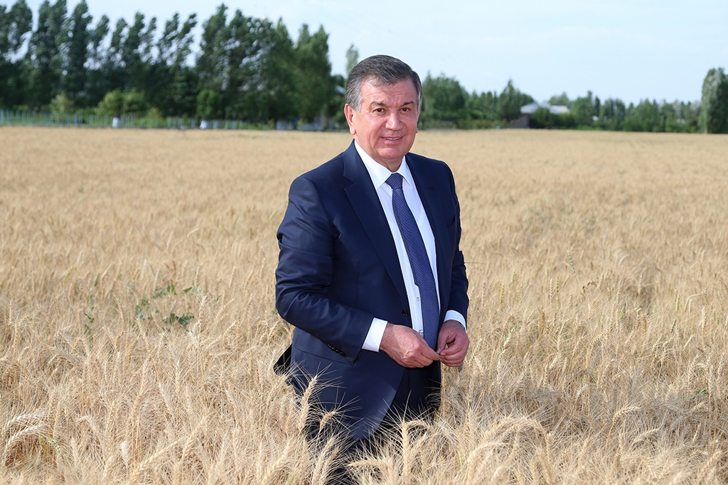 Out standing in his field: Mirziyoyev seen in the midst of wheat in an undated handout image. (Photo: Presidential administration)