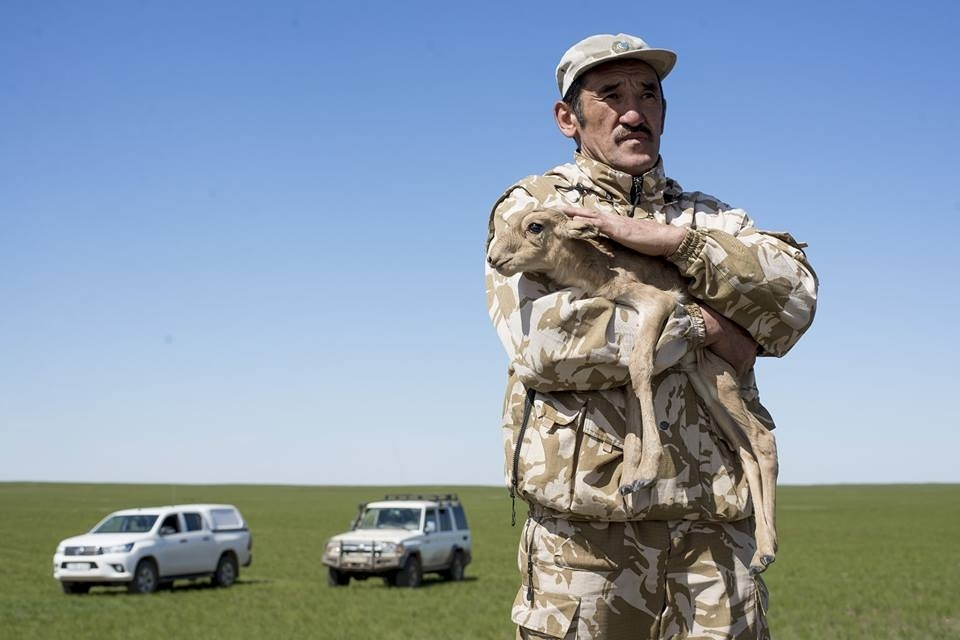 Nurgaliyev seen in an undated photo cradling a saiga calf. (Photo reproduced with permission from Ospan Ali)