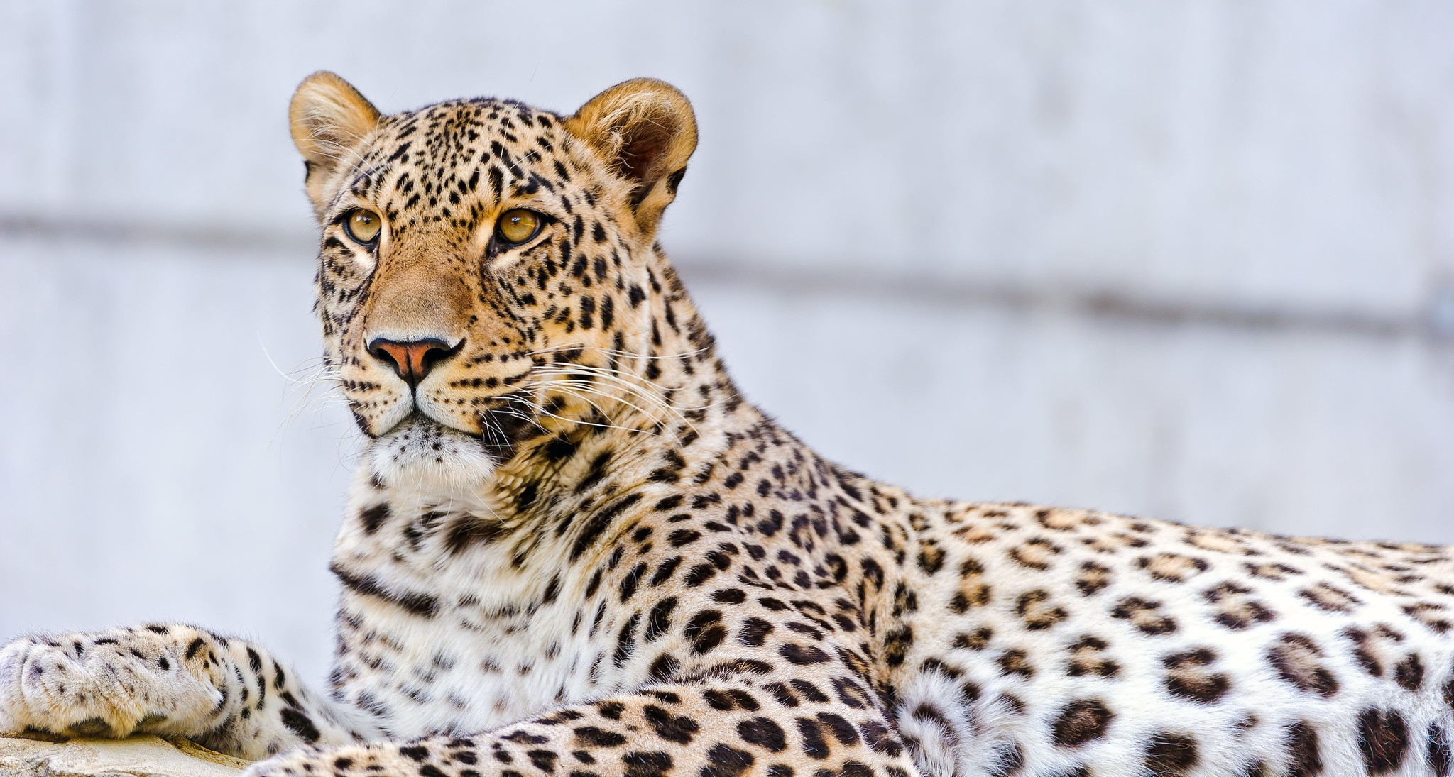 A Persian Leopard seen at Dählhölzli zoo in Bern. (Photo: Flickr / Creative Commons)
