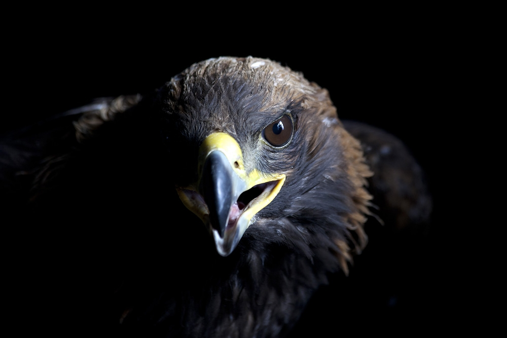 A Kazakh golden eagle trained for traditional hunting.