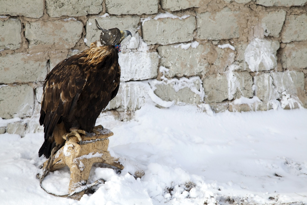Orsbai's golden eagle sits on his perch outside their home, where he spends almost all his time day and night.