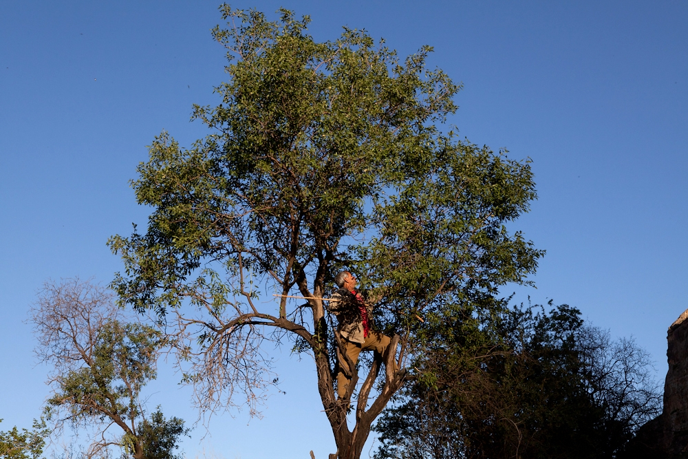 A man collects fresh almonds from a tree in the surrounding countryside of the Tigres valley floor.