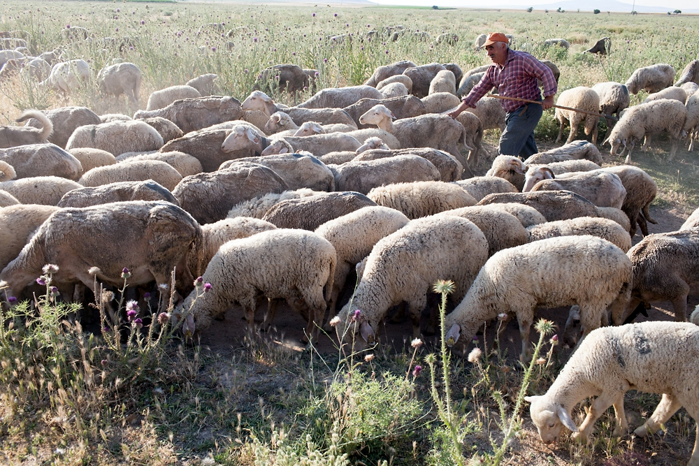A shepherd drives his sheep to a field outside of Osmaniye.