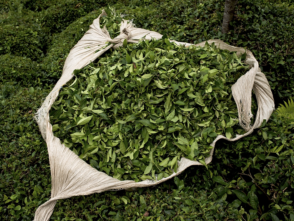 Freshly-picked tea leaves are gathered in a sack at a tea plantation near Bahattinpaşa, a village in Rize.