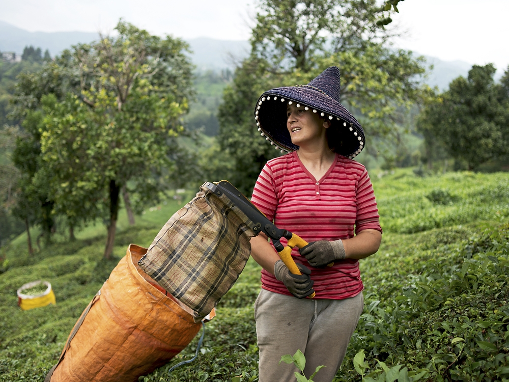 A woman harvests tea on a plantation near the town of Ardeşen.