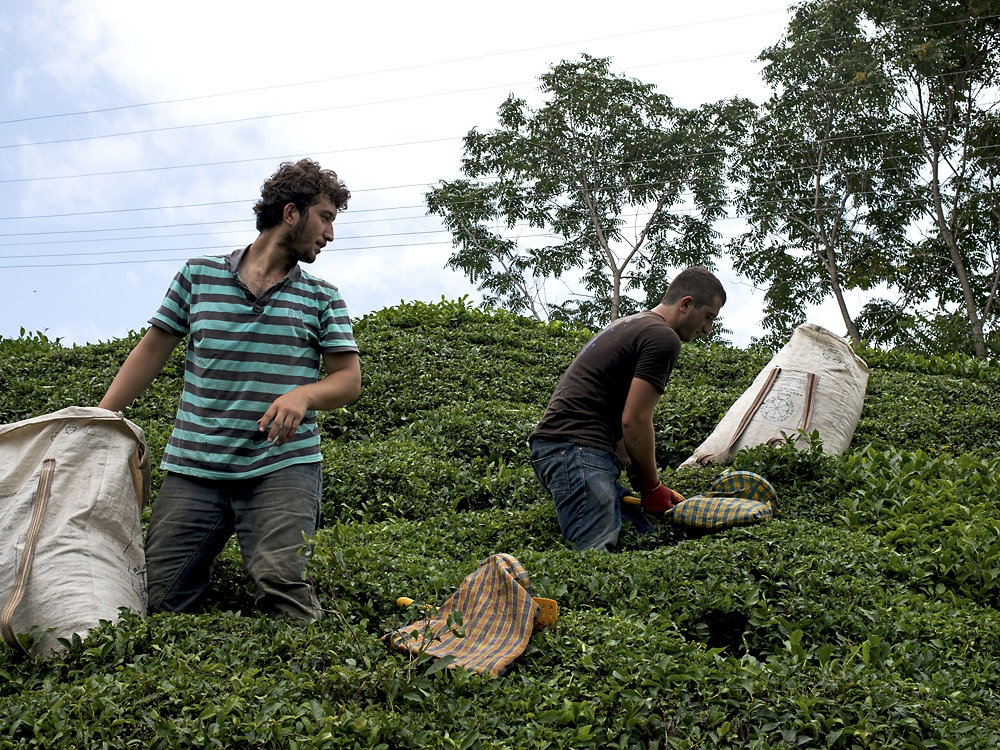 Young men pick tea with their families during the short harvest season in August.