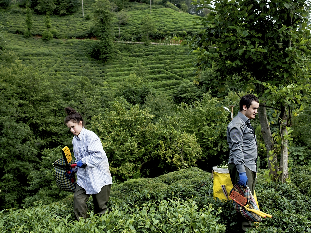A brother and sister work together cutting and picking tea leaves.
