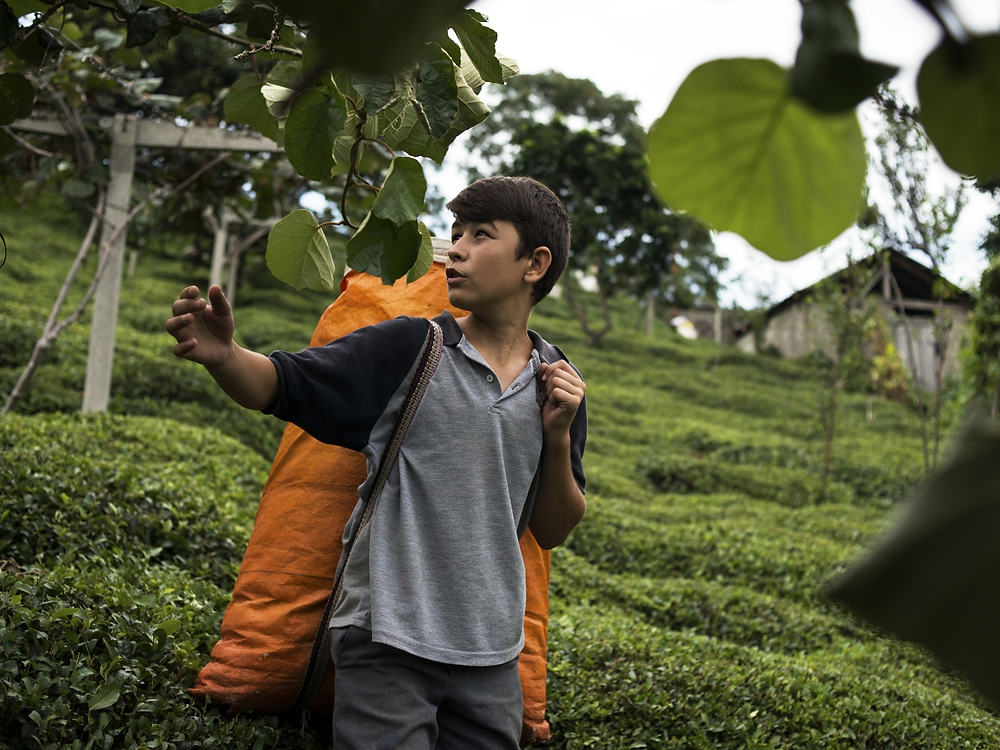 Tea farming is a career job that often is passed down from one generation to the next.