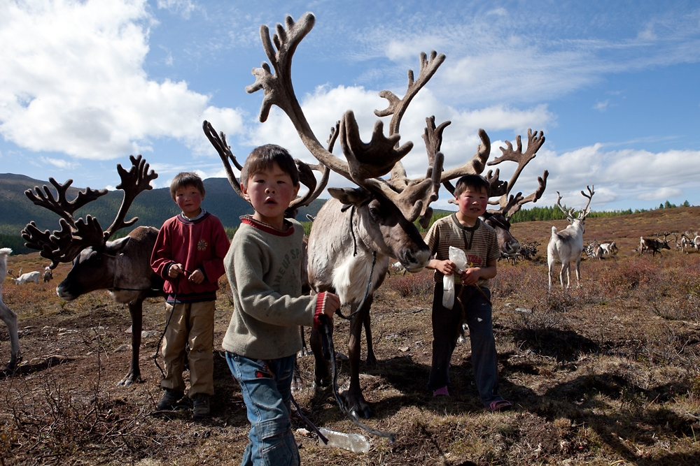 Young boys catch and rope their favorite reindeer to harness up for a ride into the forest.