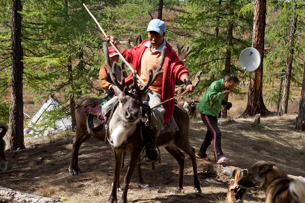A team of reindeer riders set off to pick pine nuts in the forests.