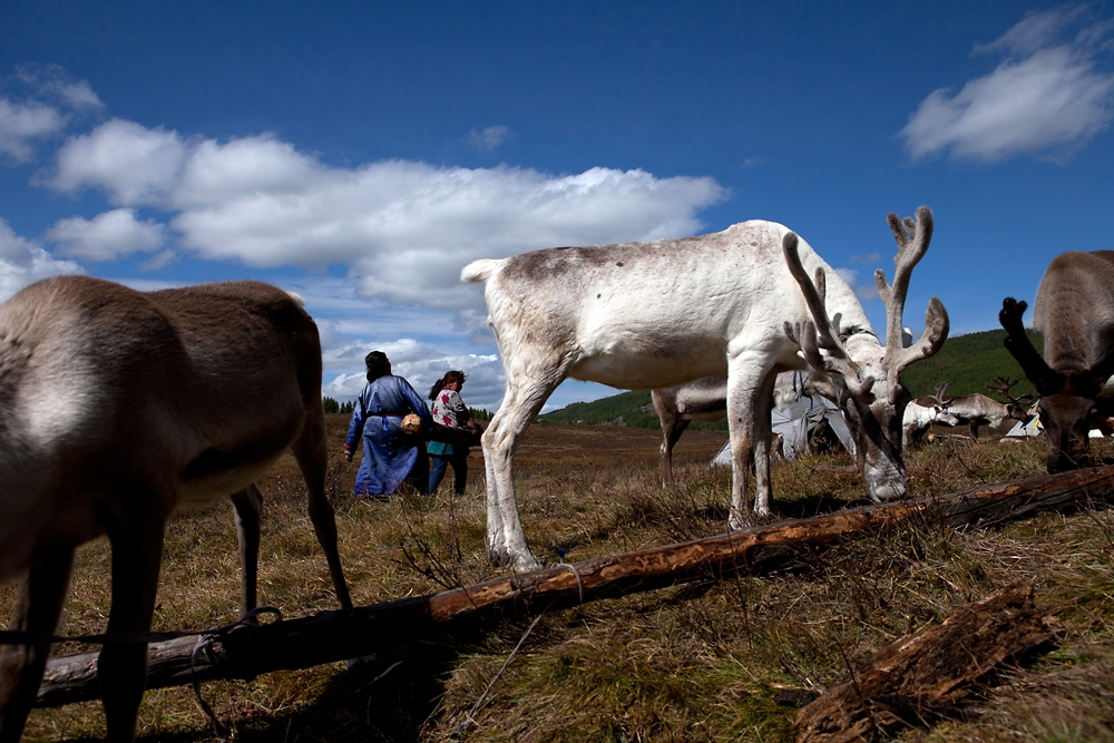 Female reindeer graze at the campsite, where they are left tied up for milking before being let free to forage.