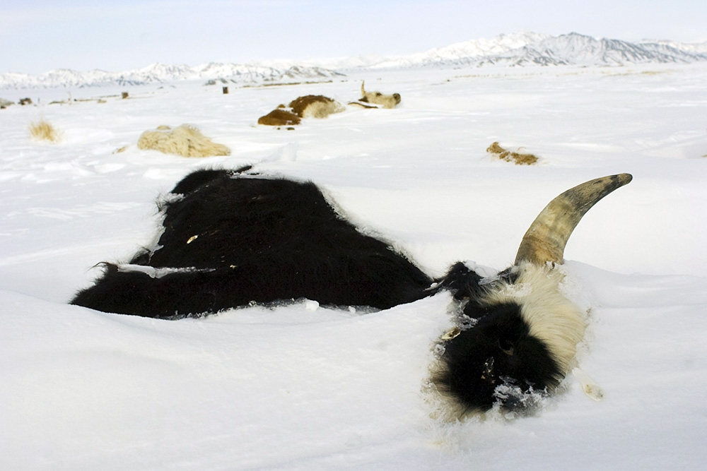 The dzud has killed more than 2.7 million animals, nearly a tenth of the national total. (Photo: Andrew Cullen)